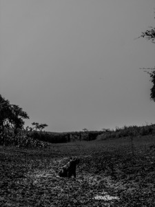 Capibara, Amazon
